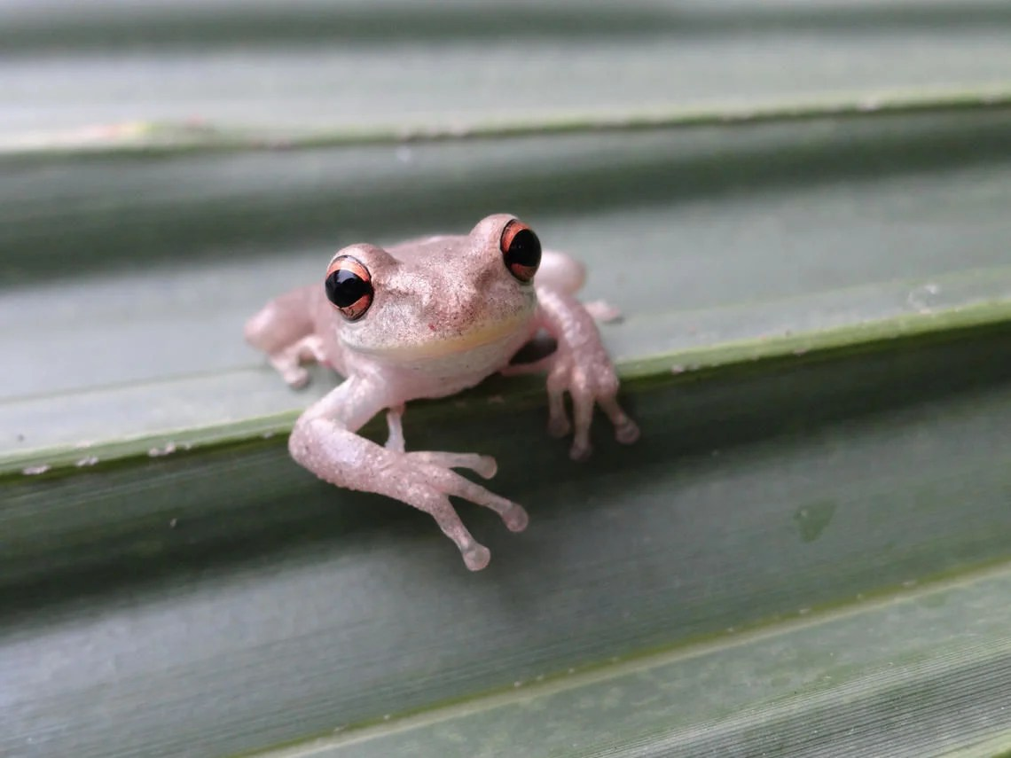 Invasive Cuban Tree Frogs Might Be Here To Stay In
