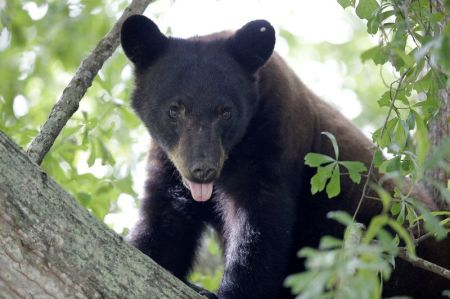 Washington Court Rules Against Giving Private Hunters Black Bear Hunting Permits