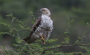 European Honey Buzzard. Photographed by Herman Bos at Mhlopeni Game Reserve.