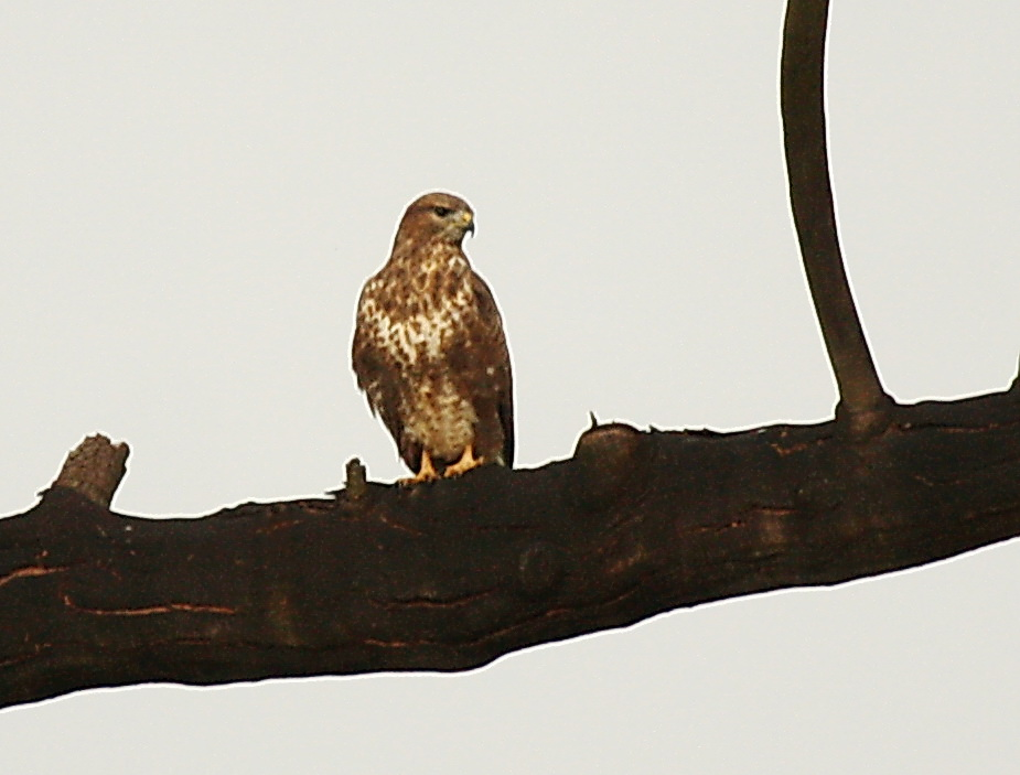 Common Buzzard, Springside 5th Jan 2013, Paul Bartho