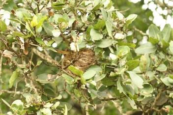 Dark-capped Bulbul nest, Springside 5th Jan 2013, Paul Bartho