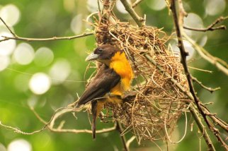 Dark-backed Weaver - Peter Farrington