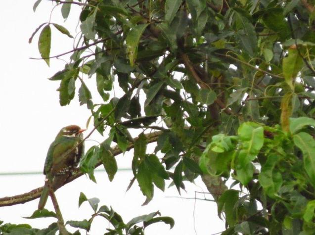 Juvenile Diderick Cuckoo