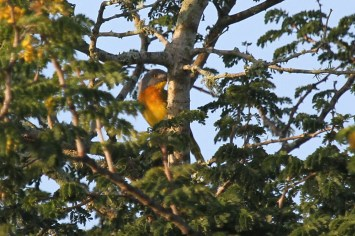 Grey-headed Bushshrike, Ndumo
