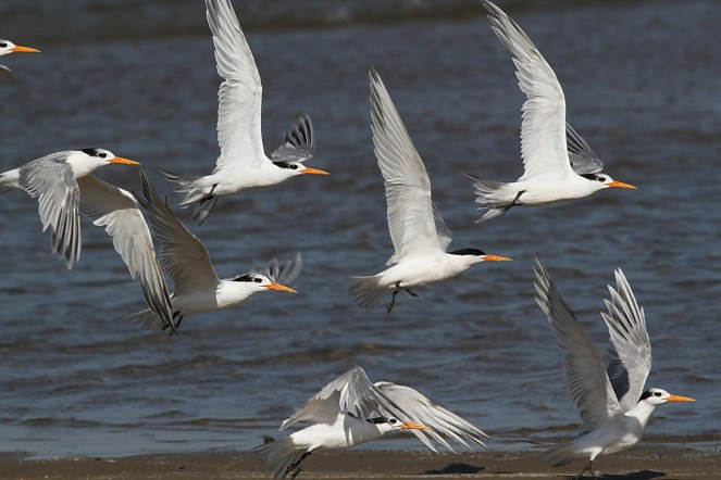 Lesser Crested Terns - one in breeding plumage - Richards Bay