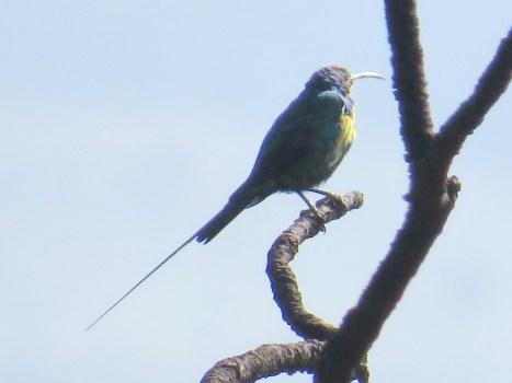 Malachite Sunbird, Mahai