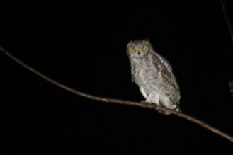 Spotted Eagle-Owl, Mahai