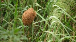 Thick-billed Weaver's Nest
