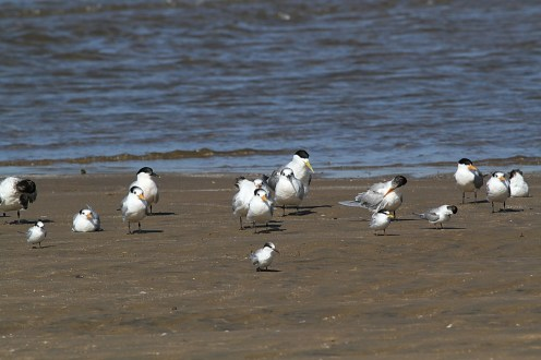 Terns - Richards Bay