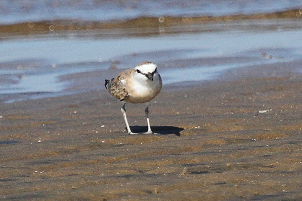 White-fronted Plover coming into breeding plumage, Richards Bay