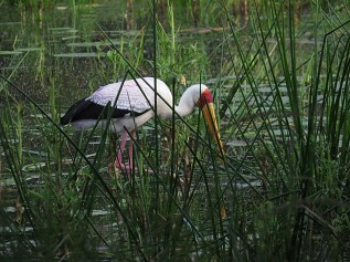 Yellow-billed Stork, Ndumo