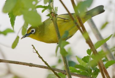 Cape White-eye