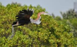Goliath Heron by Dave Rimmer
