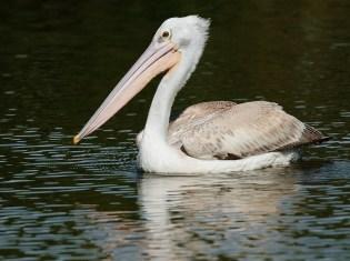 Pink-backed Pelican - Di Wayne