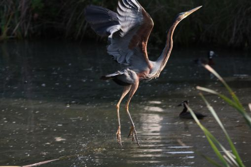 Purple Heron - what a rump!
