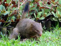 Slender Mongoose - Frank Kihn