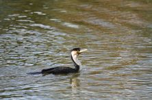 White-breasted Cormorant - lovely blue eye