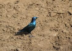 Cape Glossy-Starling, Mkuze
