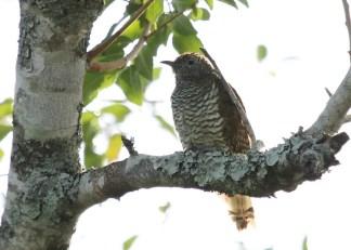 Cuckoo - juvenile, Tembe (African Emerald female?)