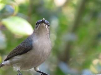 Grey Sunbird, Ilala Palm