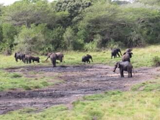 Herd of Elephants, Poweni Hide, Tembe