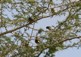 Lemon-breasted Canaries, Muzi Pan