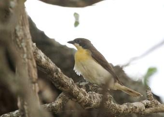 Greater Honeyguide - juvenile, Mkuze