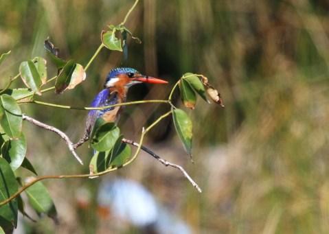 Malachite Kingfisher, Kosi Bay mouth