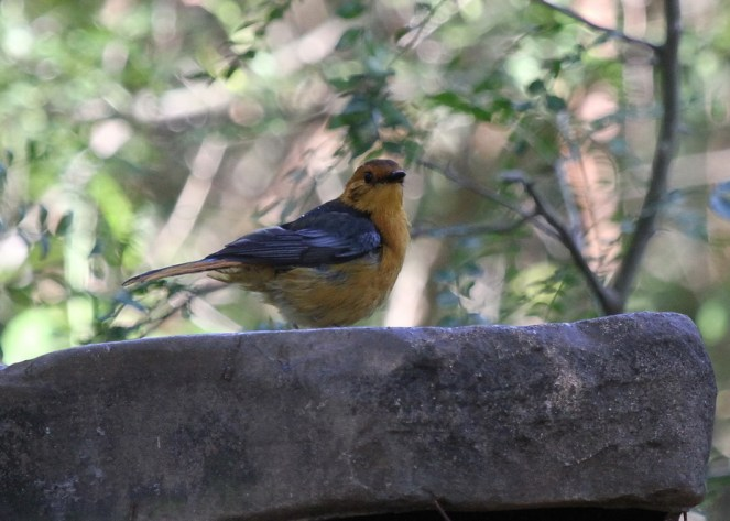 Red-capped Robin-Chat, Ilala Palm