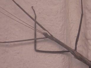 Stick Insect, Ilala Palm