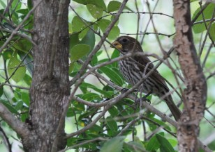 Thick-billed Weaver - female, Ilala Palm