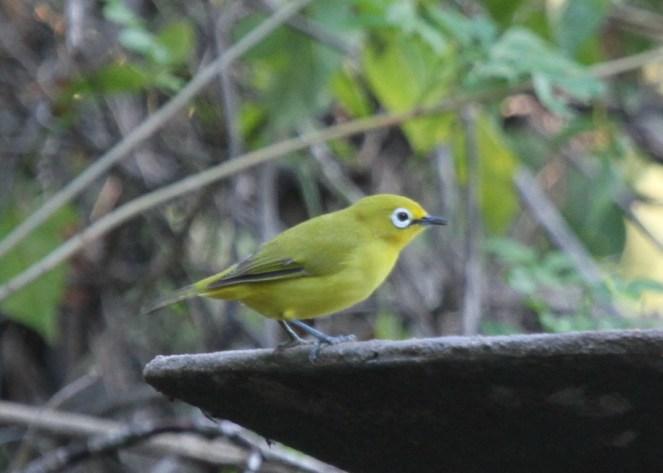 Yellow White-eye, Ilala Palm