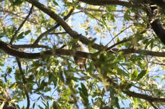 African Barred-Owlet, Kunene River Lodge