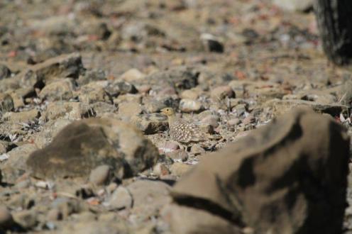 Burchell's Sandgrouse - male, Kunene River Lodge
