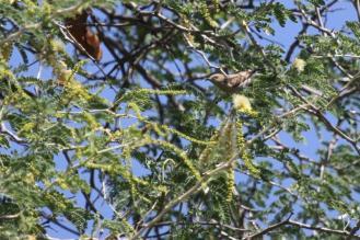 Dusky Sunbird, Otjimuhaka - Kunene