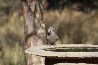 Grey Go-away-bird, Kamanjab