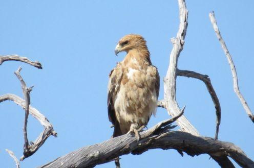 Tawny Eagle. Etosha
