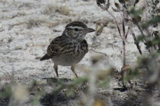 Sabota Lark - thick billed Western version. Etosha