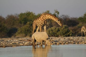 Giraffe dwarfing a White Rhino. Etosha