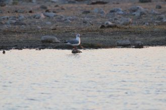 Grey-headed Gull. Etosha