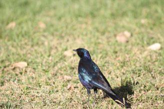 Burchell's Starling. Etosha