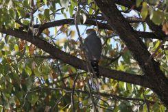 Little Sparrowhawk. Etosha
