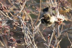 Dusky Sunbird. Etosha