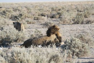 Lion and disinterested partner. Etosha