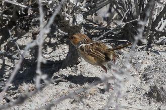 Rufous-eared Warbler. Etosha