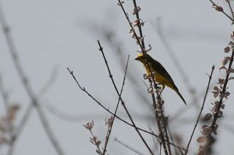 Yellow Canary. Etosha