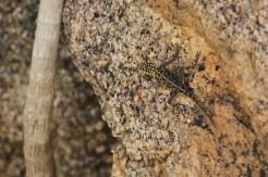 Brightly spotted headed Lizard - anyone?, Erongo