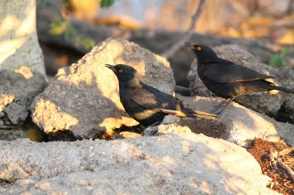 Pale-winged Starlings. Erongo