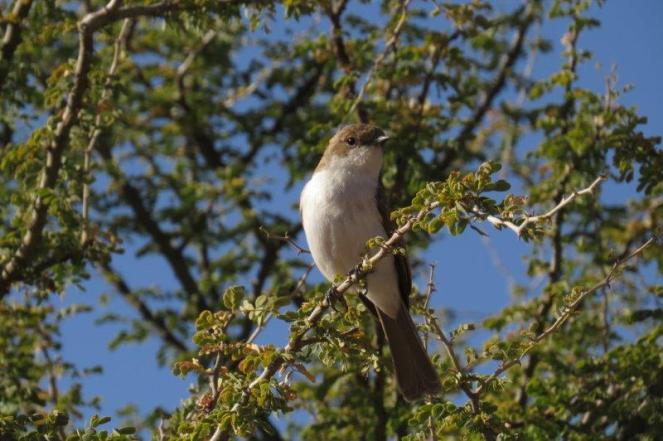Marico Flycatcher, Avis Dam
