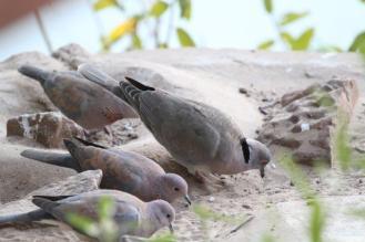 Mourning & Laughing Doves, Kunene River Lodge